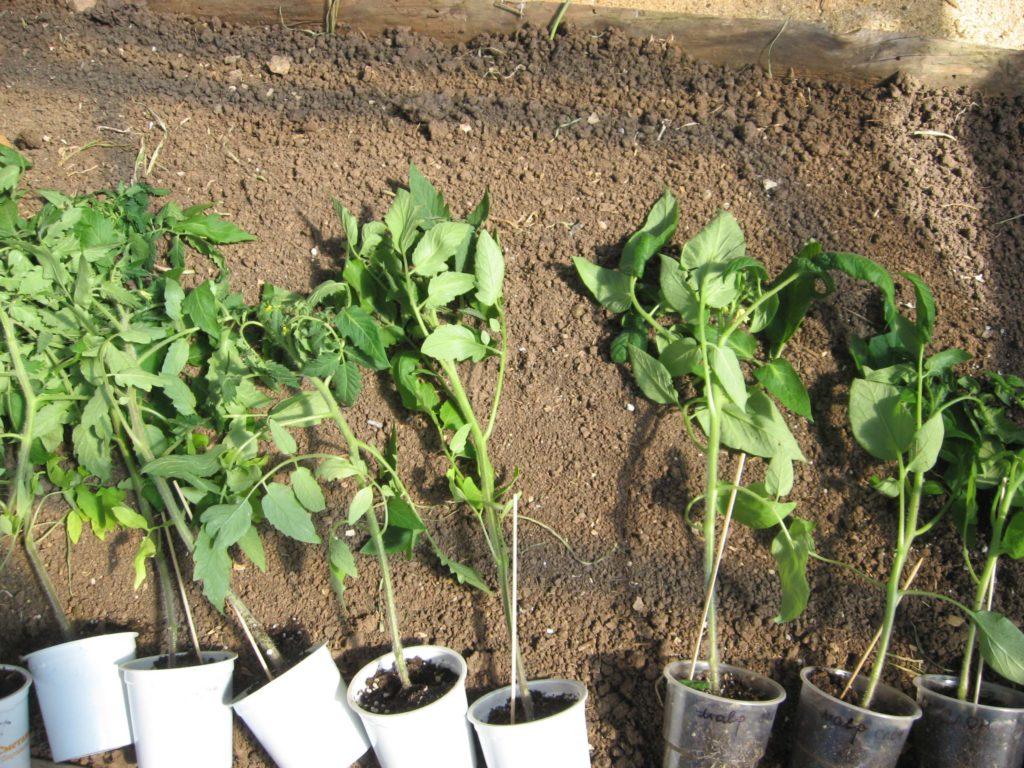 Рассада помидоров на огороде