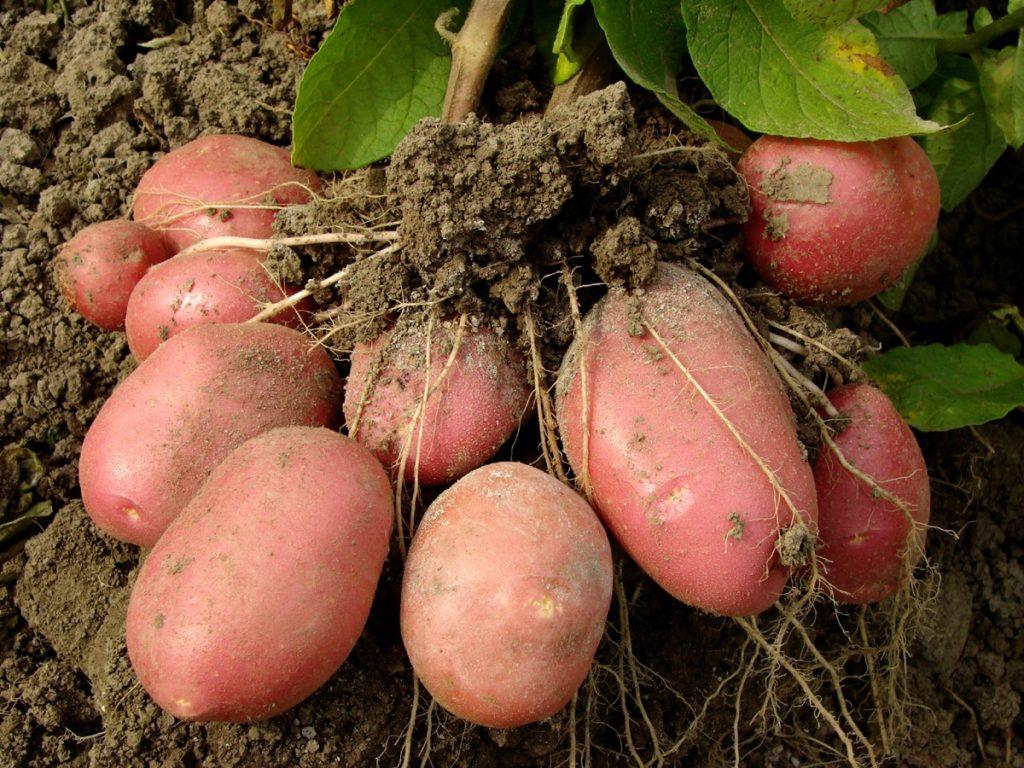 Клубень молодого картофеля