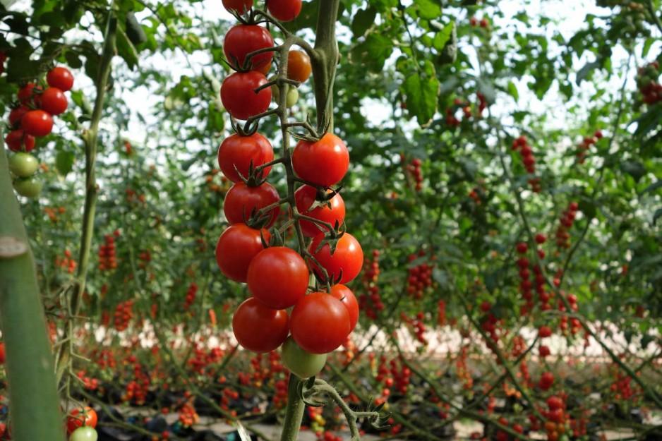 Ветка помидоров черри на грядке