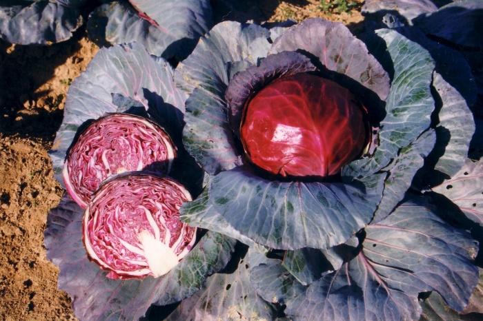Краснокочанный вид капусты на огороде