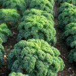 Урожай капусты брокколи