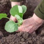 Посадка молодой рассады капусты