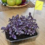 Растущий фиолетовый базилик дома