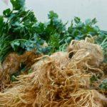 Урожай сельдерея на даче