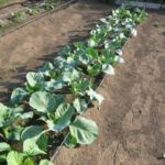 Капуста брокколи на огороде