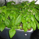 Урожай базилика в горшке