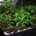 Урожай базилика в домашних условиях
