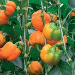 Урожай оранжевого перца