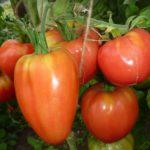 Урожай томатов вельможа
