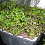Урожай базилика на подоконнике