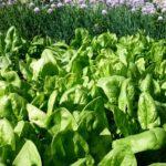 Грядка зеленого шпината
