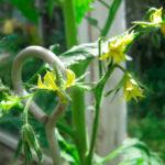 Цветки томатов в теплице