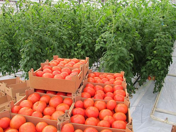 Урожай томатов в ящиках