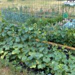 Огурцы, растущие на огороде