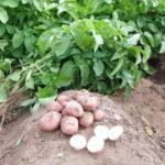 Обрезка ботвы у картофеля