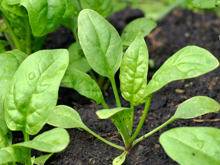 Зеленый шпинат на грядке