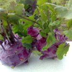 Венская фиолетовая капуста