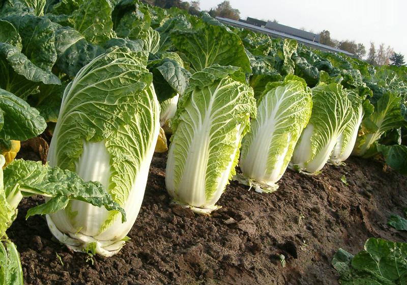 Выращивание капусты на огороде