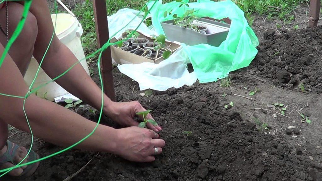 Посадка огурцов рассадой