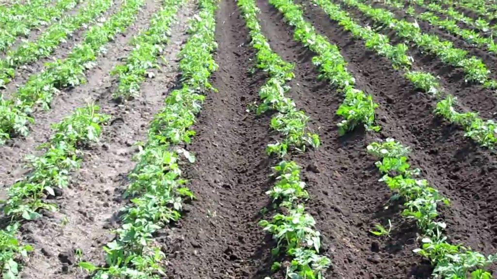Картофель, растущий на поле