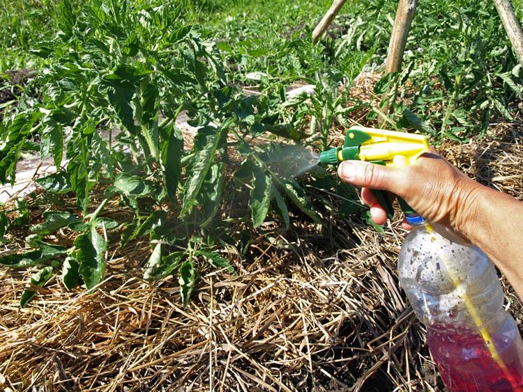 Опрыскивание томатов раствором