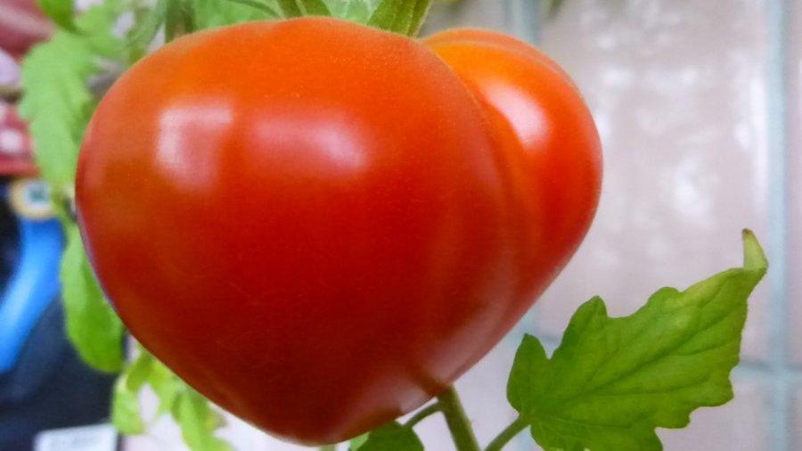 Гибридный томат буденовка