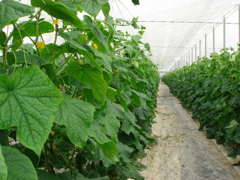 Выращивание в теплице огурцов