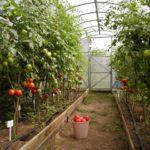 Урожай помидоров устойчивых к бурой пятнистости