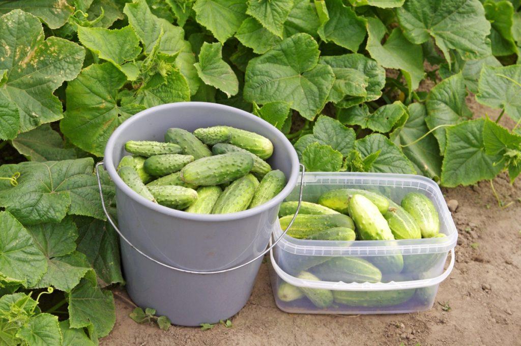 Урожай огурцов на огороде