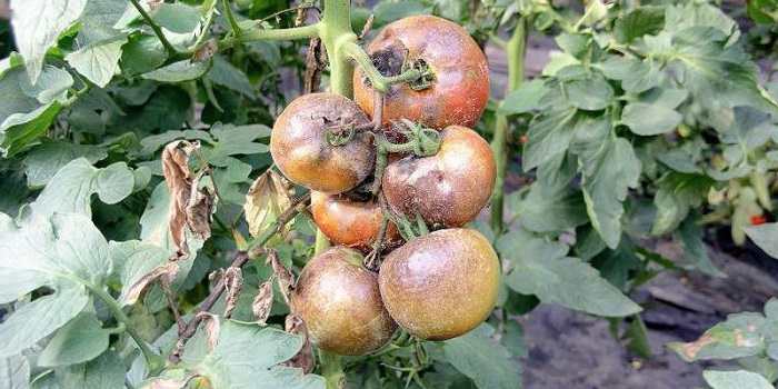 Кладоспориоз помидоров на грядке