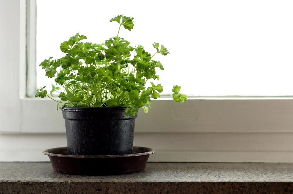 Петрушка, растущая на окне