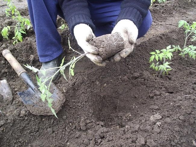 Пикирование томатов в грунт