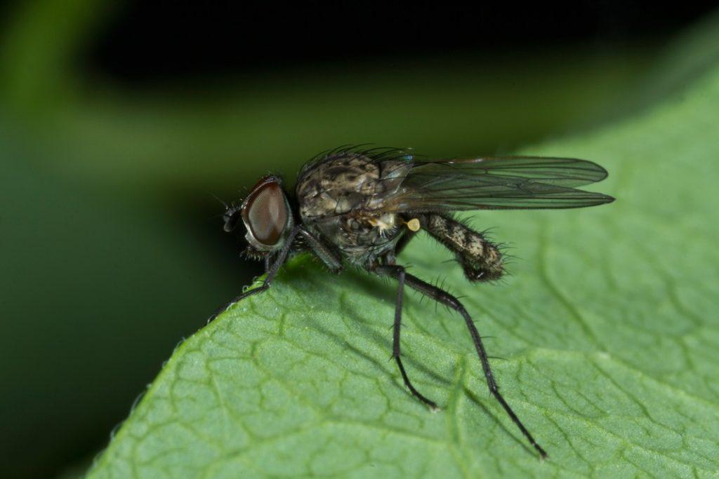 Вредитель кустов огурцов - ростковая муха