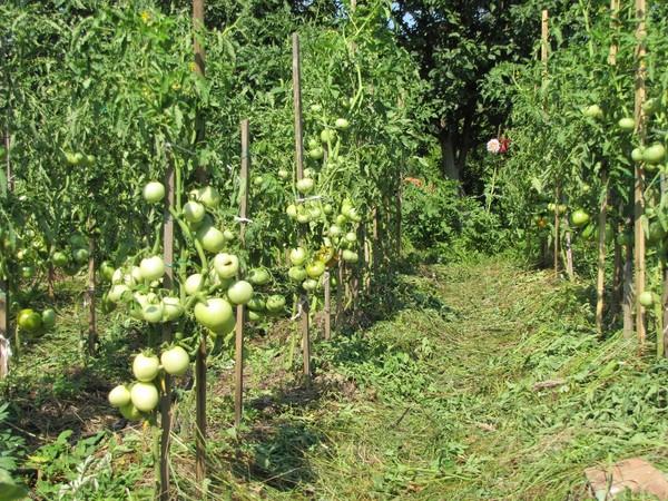 Подвязывание помидоров кольями