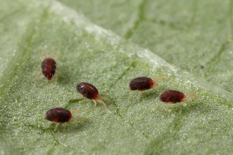 Чем обрабатывают баклажаны от болезней и вредитей