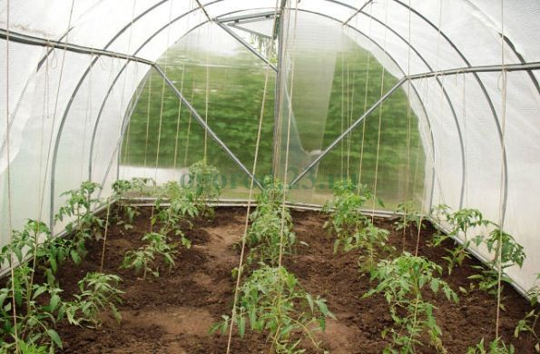 Подвязывание помидоров на шпалеру