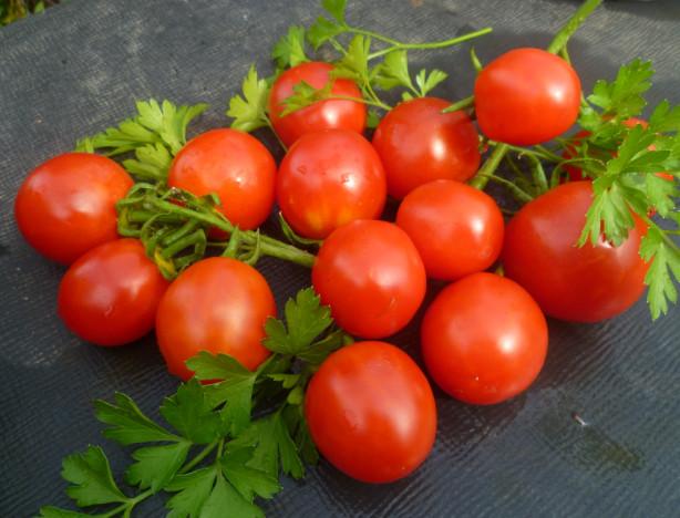 Урожай ранних томатов на столе