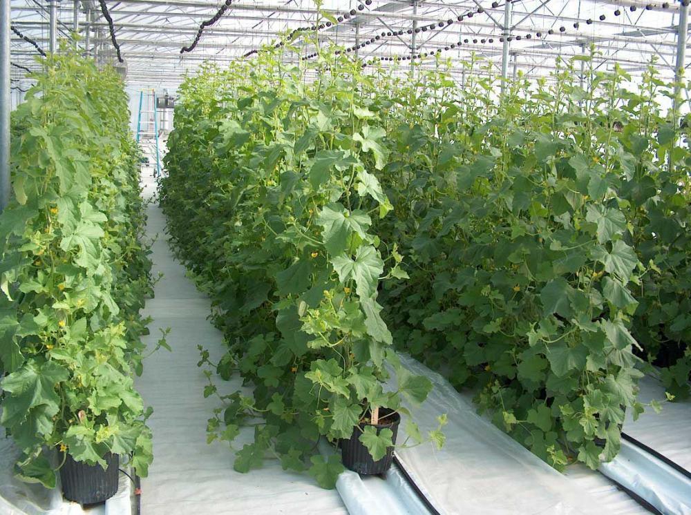 Шпалерный метод выращивания огурцов