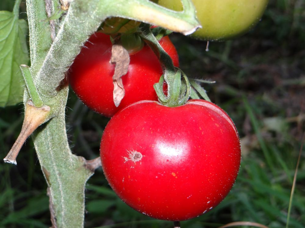 Плоды помидоров сорта дубрава