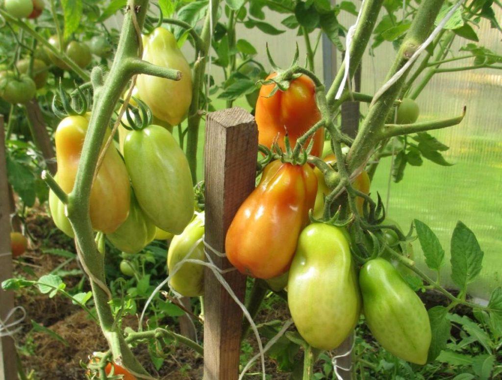 Перцевидные помидоры на грядке