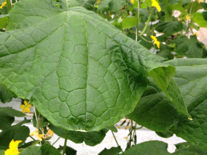 Заболевание огурцов - скручивание листьев