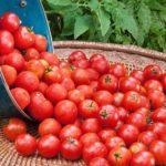 Урожай томатов в корзине