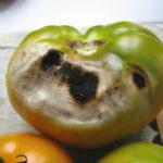 Вершинная гниль плодов помидоров