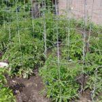 Клетки из проволоки для томатов