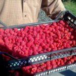 Урожай ягод в ящике