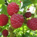 Урожай красной малины
