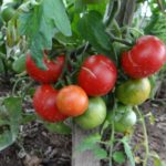 Плоды томатов дубрава