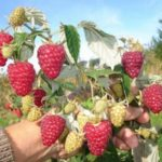 Урожай малины на кусте летом