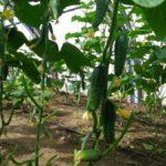 Здоровые огурцы на огороде