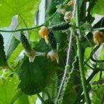 Урожай огурцов на подоконнике